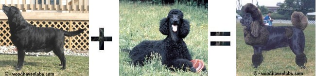 Labradoodle is a cross between the Labrador Retriever and Standard