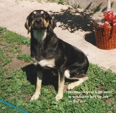Mismarks & other odd markings in Labradors part 2 - Woodhaven ...