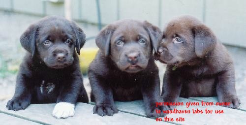 Look at the white hairs on the chest of the puppy on the far left and the white paw