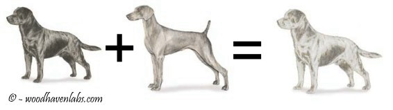 The Truth Behind Silver Labradors